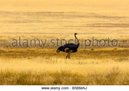 A male ostrich Sossusvlei Sand Dunes highest dunes in the world Namib Desert Namib Naukluft National Park Namibia - Stock Photo