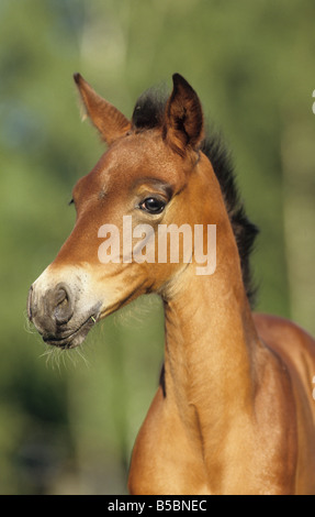 Andalusian Horse (Equus caballus). Portrait of a foal - Stock Photo