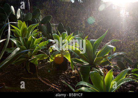 Agave plants in the rain in a garden on the island of La Palma in the Canary Islands. - Stock Photo