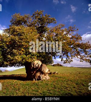 Ancient gnarly sweet Chestnut tree. Castanea sativa, Kent, England, UK. - Stock Photo