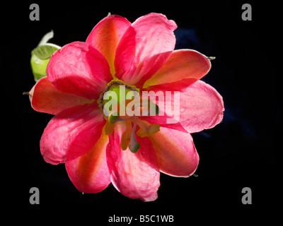 Passiflora Passion Fruit flower red black background horizontal colorful gorgeous description - Stock Photo