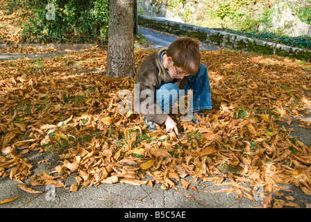 Young 8 year old boy collecting chestnuts from the ground - Stock Photo