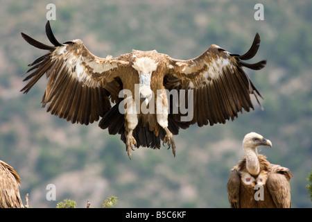Griffon vulture , Gyps fulvus , landing - Stock Photo
