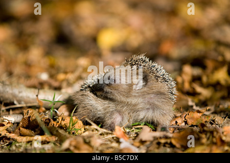 Europäischer Igel young hedgehog Erinaceus europaeus licking it`s side and salivating - Stock Photo