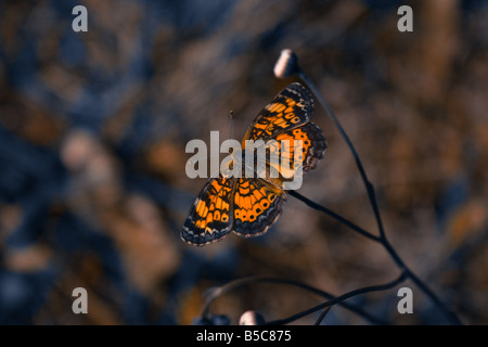 Phaon crescent butterfly resting on flower with wings spread - Stock Photo