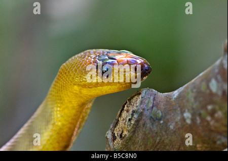 Snake Woma Aspidites ramsayi python - Stock Photo