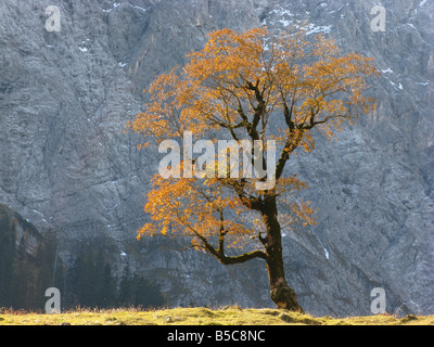an old great maple in front of a rock face - Stock Photo
