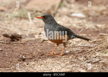 Olive Thrush Turdus olivaceus standing alert on ground at Thomson's Falls, Kenya. - Stock Photo