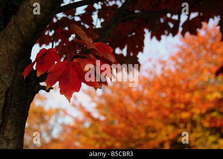 The reds oranges browns of a maple tree in the fall season - Stock Photo