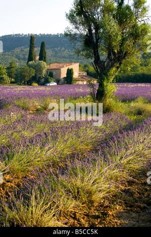 Lavender Fields Provence - Stock Photo