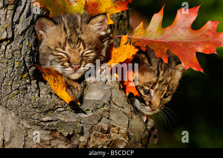 Sleepy and worried Bobcat kittens camouflaged and safe in a tree hollow den with Fall colored oak leaves - Stock Photo