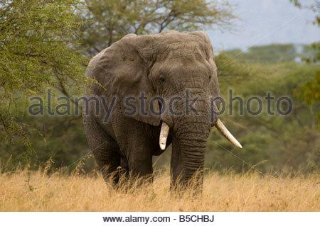 African Bull Elephant Serengeti National Park Tanzania - Stock Photo