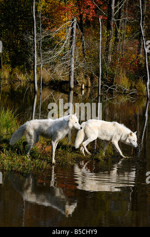 Two Arctic Wolves hunting waterfowl at the edge of a lake reflected in water with an Autumn forest - Stock Photo