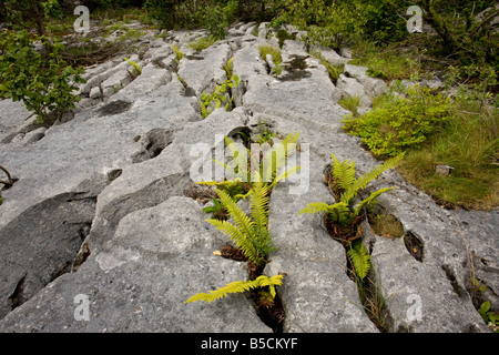 limestone pavement at Gait Barrows NNR Cumbria with Hard Shield fern Polystichum aculeatum growing in grykes - Stock Photo
