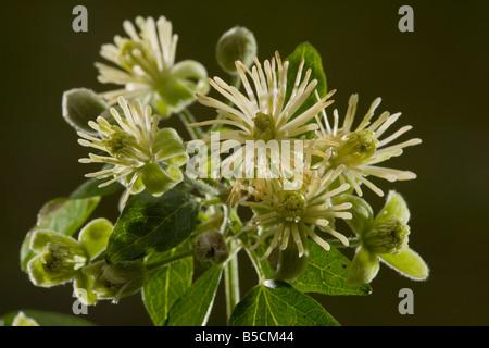 Traveller s joy or Old man s beard Clematis vitalba in flower Dorset - Stock Photo
