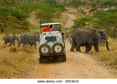 Tourists on safari in a safari vehicle view a herd of African Elephants crossing the road Serengeti National Park - Stock Photo