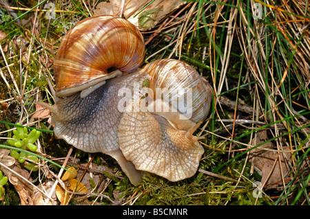 Mating Burgundy Snails, Roman Snails, Helix pomatia - Stock Photo