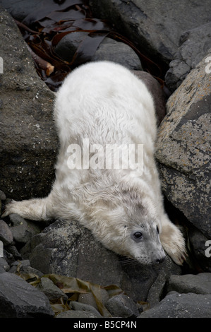 Atlantic gray grey seal Halichoerus grypus pup puppy on a rocky shore off the west coast of Scotland in the Scottish - Stock Photo
