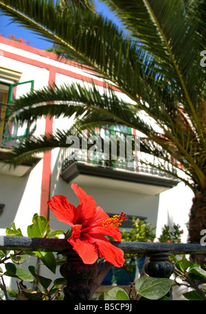 Close up on typical Hibiscus flower in luxury resort of Puerto de Mogan with villa and palms Gran Canaria Canary - Stock Photo
