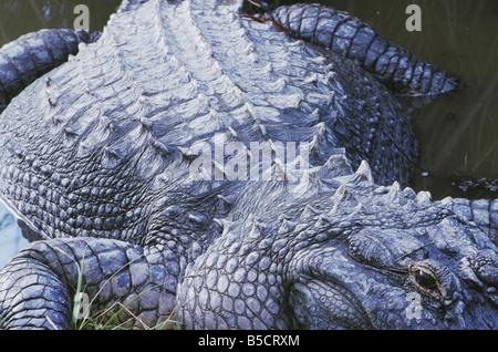 American Alligator Alligator mississipiensis adult Myrtle Beach South Carolina USA - Stock Photo