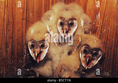 Barn Owl Tyto alba young in nest box Rio Grande Valley Texas USA - Stock Photo