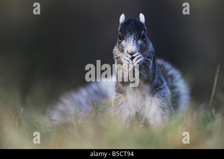 Eastern Fox Squirrel Sciurus niger adult eating Raleigh Wake County North Carolina USA - Stock Photo