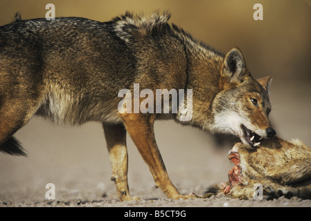 Coyote Canis latrans adult eating deer carcass Starr County Rio Grande Valley Texas USA - Stock Photo