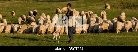 Shepherd with dogs and his sheep flock near Sigishoara in the saxon villages area Transylvania Romania - Stock Photo