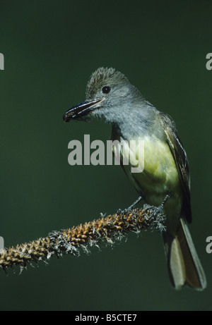 Great-crested Flycatcher Myiarchus crinitus adult with horse fly prey Raleigh Wake County North Carolina USA - Stock Photo