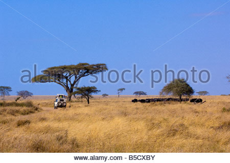 Tourists on safari peer out of the pop up roof of a safari vehicle at a herd of Cape Buffalo Serengeti National - Stock Photo
