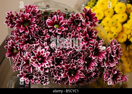 Two Tone Chrysanthemums often called mums - Stock Photo