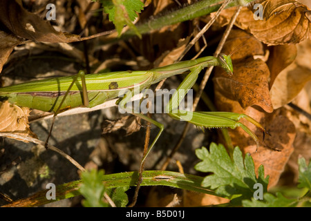 Female Praying Mantis Mantis religiosa in autumn Romania - Stock Photo