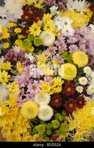 Chrysanthemums often called mums - Stock Photo