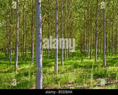 Silver Birch trees in Tarn et Garonne, Southwest France, Europe - Stock Photo