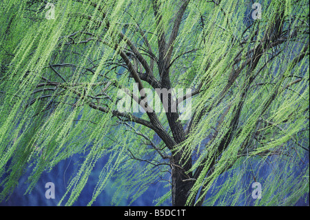 Weeping Willow Salix x sepulcralis Tree in early spring Raleigh Wake County North Carolina USA - Stock Photo