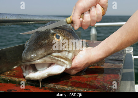 A human cutting a freshly caught codfish - Stock Photo
