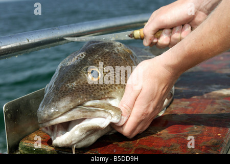 A human cutting a freshly caught codfish - Stock Photo