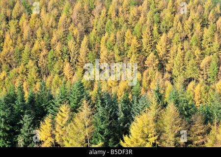 Larch Trees Larix decidua Cambrian Mountains in Autumn Cartmarthenshire Powys Wales UK - Stock Photo