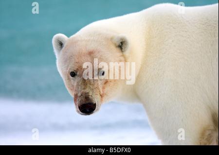 Polar Bear portrait - Stock Photo