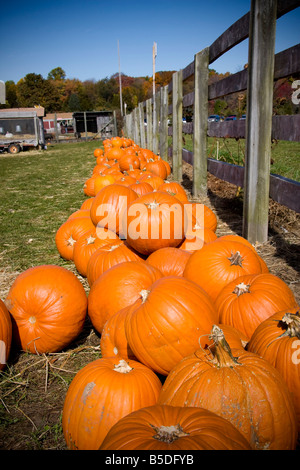 Large pumpkins stacked along a fence on an American farm - Stock Photo