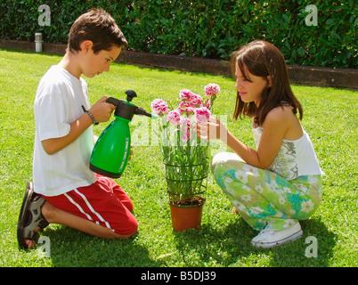 Spraying carnations. Dianthus - Stock Photo