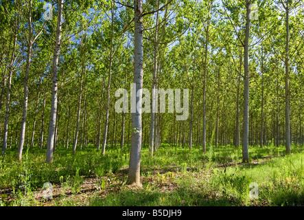 Silver Birch trees, Tarn et Garonne, Southwest France, Europe - Stock Photo