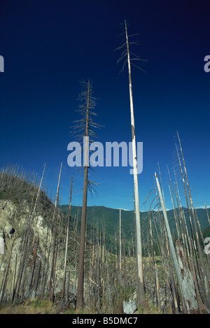Forest north of Mount St. Helens National Volcanic Monument, damaged by the eruption of 1980, Washington State, USA Stock Photo