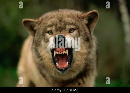 Grey wolf growling, Montana, USA, North America - Stock Photo