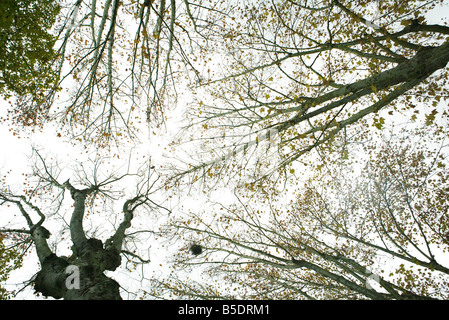 Sparse tree canopy, low angle view - Stock Photo