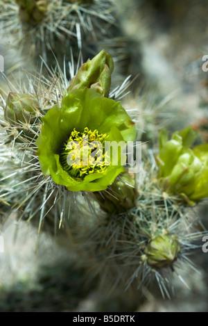 Flowering Silver Cholla cactus (opuntia echinocarpa), close-up