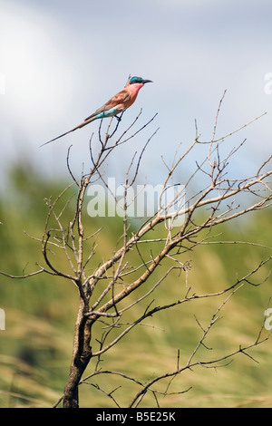 Africa, Cape Town, Lilac-breasted roller sitting on twig (Coracias caudata) - Stock Photo