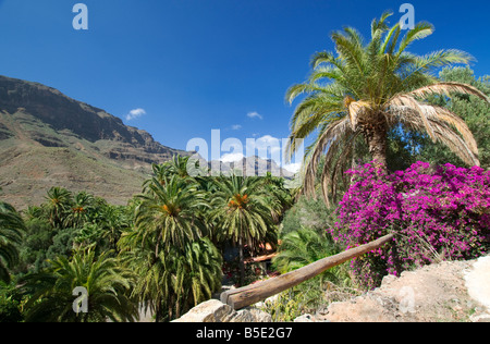 An oasis with palm trees and Bougainvillea with mountains of central Gran Canaria behind Canary Islands Spain - Stock Photo