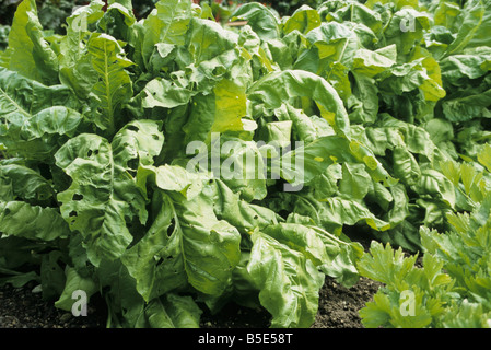 perpetual spinach growing on a vegetable patch - Stock Photo