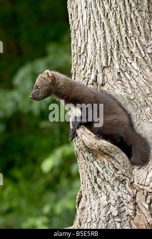 Captive baby fisher (Martes pennanti) in a tree, Sandstone, Minnesota, USA, North America - Stock Photo